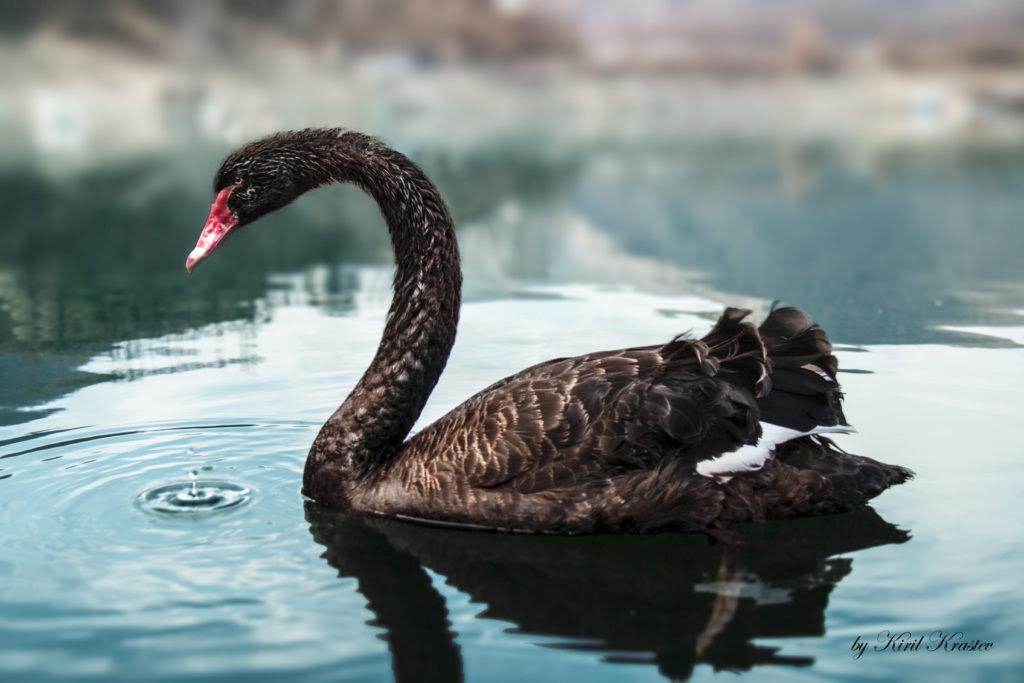 Black_Swan_bg