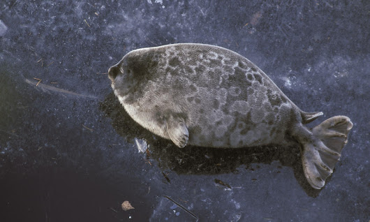 WWF digs a safe home for endangered freshwater seals