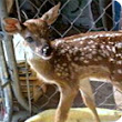 Police state gone wild: Couple facing 60 days in jail for rescuing injured baby deer