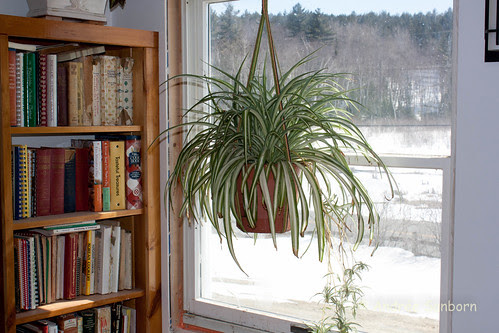 The spider plant in the breakfast nook. (4 of 3).jpg