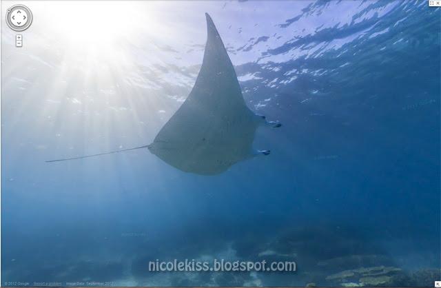 lady elliot island chasing manta ray