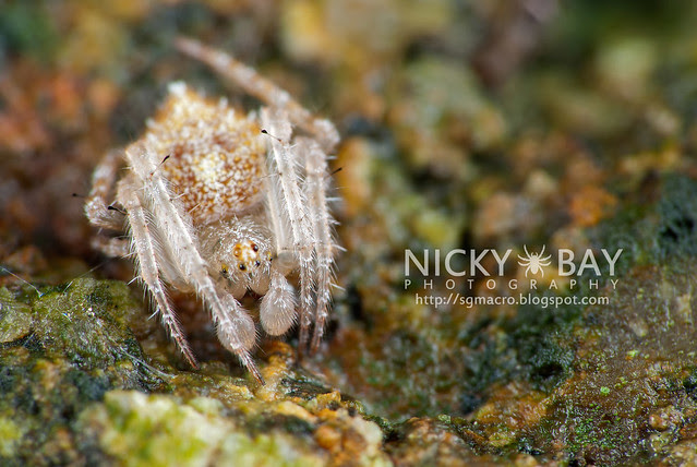 Laglaise Garden Spider (Eriovixia laglaizei) - DSC_7218