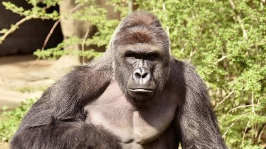 """For Harambe"" Google+ page: Hold Cincinnati Zoo accountable for Harambe's death"