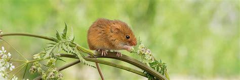 Types of UK Mice   Woodland Trust