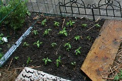 peppers planted