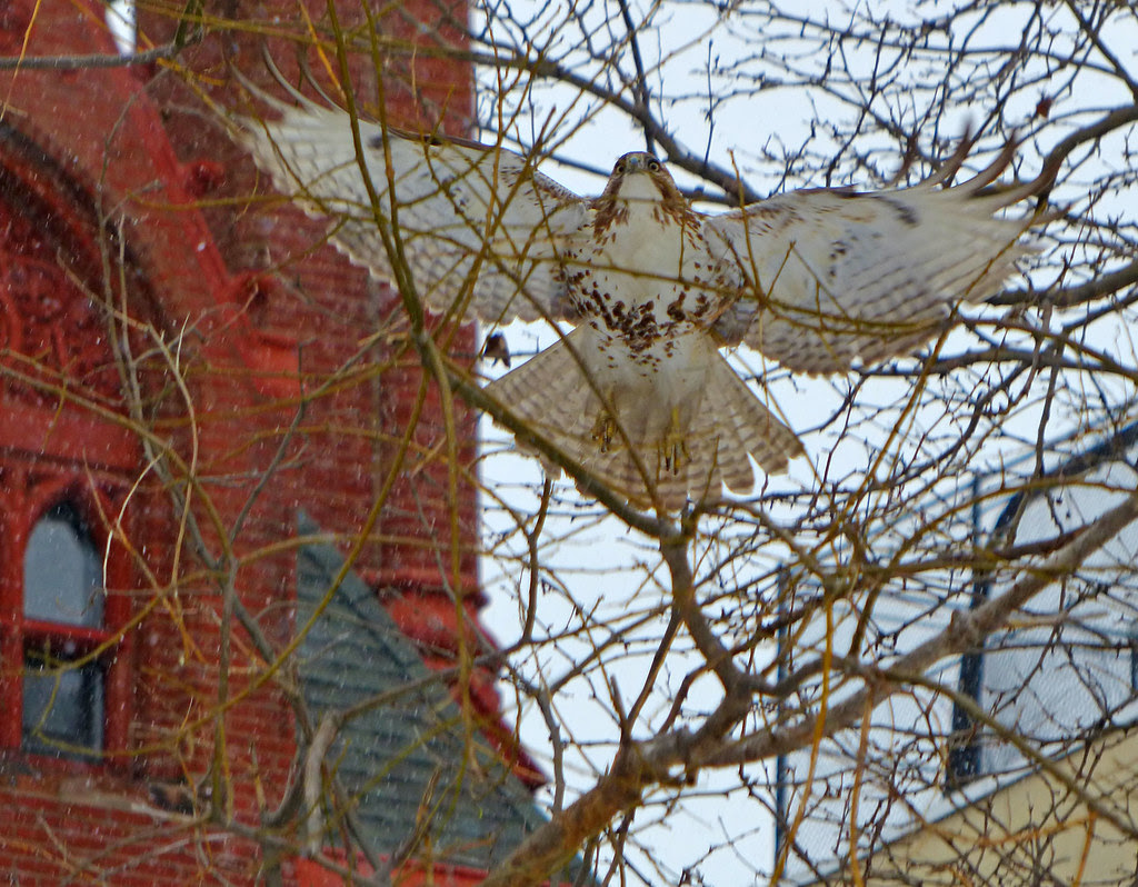 Red tail in Tompkins Square