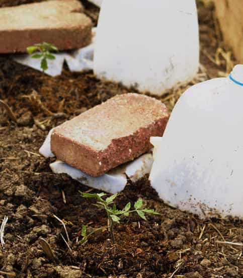 Home Gardening: Use Milk Jugs To Protect Seedlings