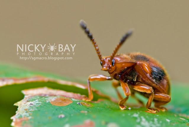 Ladybird-Mimic Beetle - DSC_7213