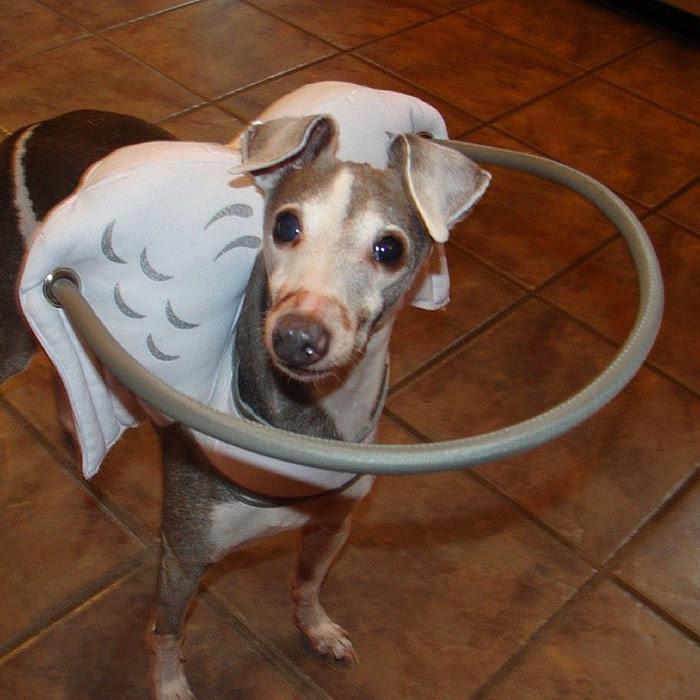 blind-dog-safety-device-muffins-halo-9