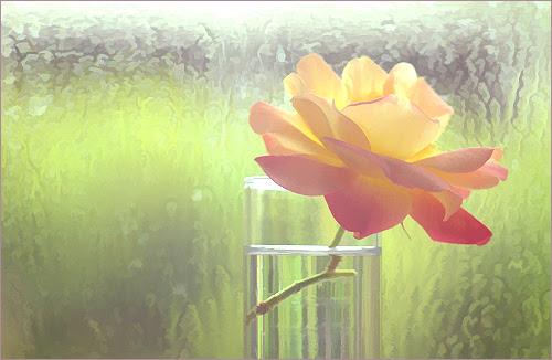 Rose Macro - IMGP7758