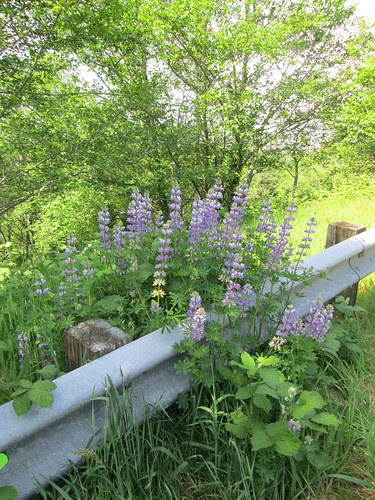 Lupines!