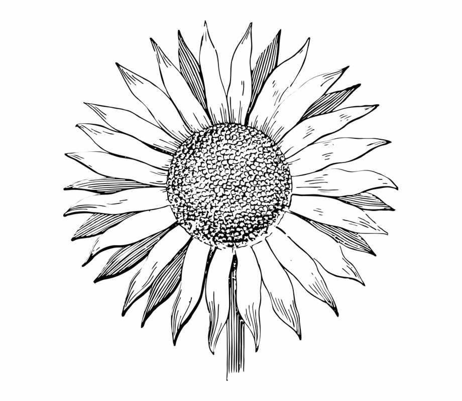 Sunflower Line Drawing | Free download on ClipArtMag
