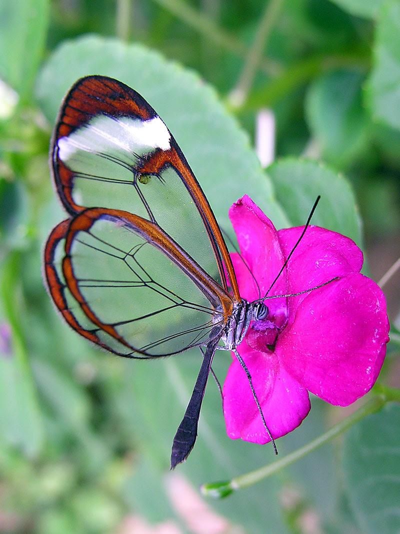 الفراشة الزجاجيه الشفافه فراشة الزجاج Greta oto بالصور 432919.jpg