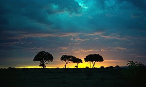 Sunset silhouetting acacia trees in Masai Mara...