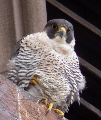 Adult female peregrine falcon. Photo J Salloway.