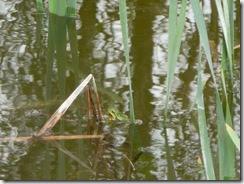 49 zeleni žabec
