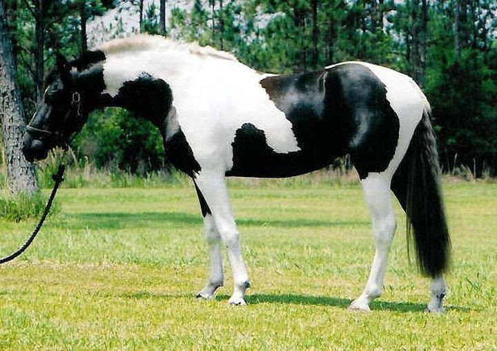 Black and white pinto, animal horse