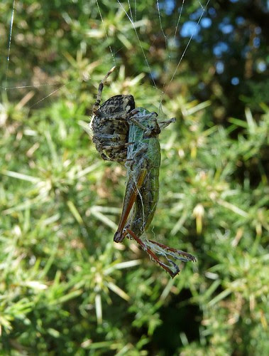 11503 - Garden Spider Eating Grasshopper
