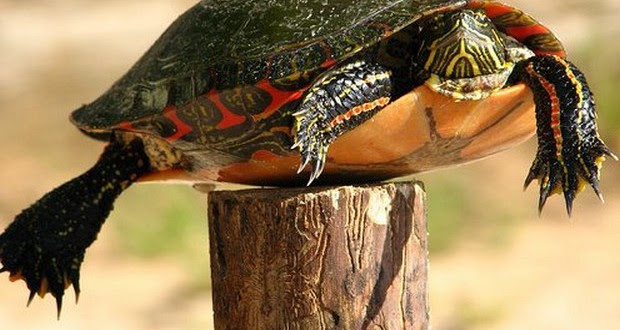 turtle-on-a-fence-post