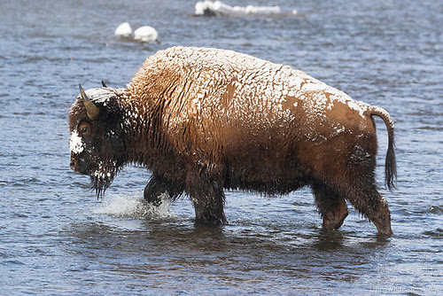 Bison Crossing Firehole River, Yellowstone National Park, Wyoming