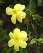 Jazmín amarillo, Jazmín de primavera