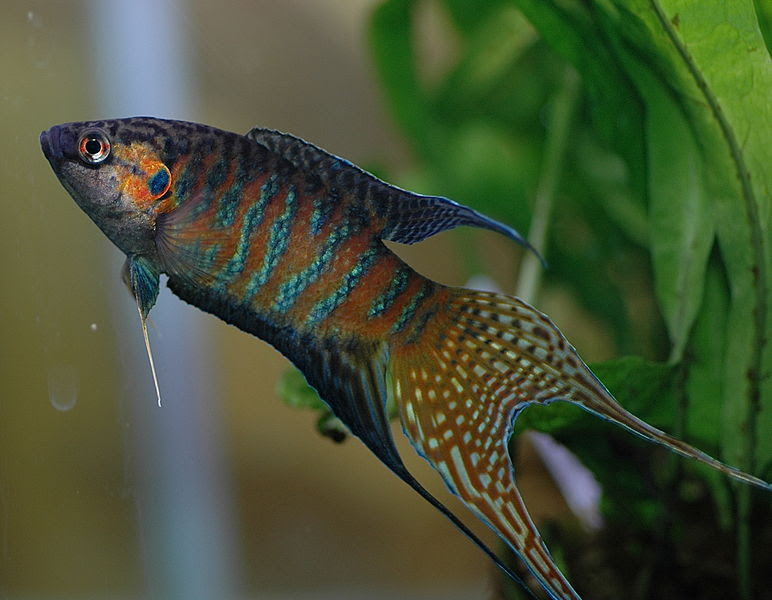 File:DV Paradise fish male 05.jpg
