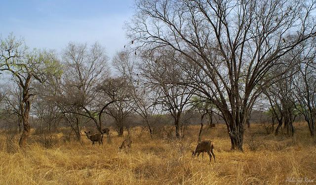 Sambar grazing in open grassland forest, Ranthambhore National Park