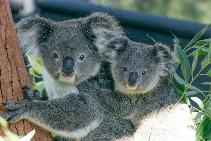 A koala with her joey on her back in a tree.