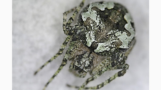 Right under our noses: A novel lichen-patterned spider found on oaks in central Spain
