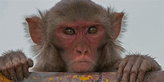 Brain Implant Helps Paralyzed Monkeys Walk Again