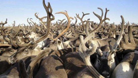 The Komi Republic received a federal subsidy in the amount of 400 thousand rubles for training of professional reindeer breeders