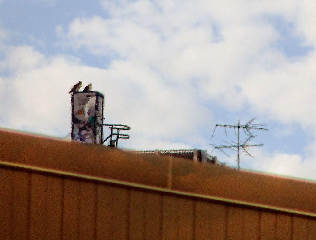 Red tail pair atop Village View Apartments
