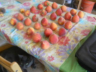 Nectarines Ripening on Table with Mimi Hanging Out