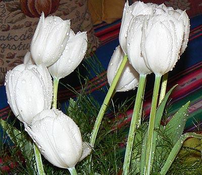tulipes après la pluie.jpg