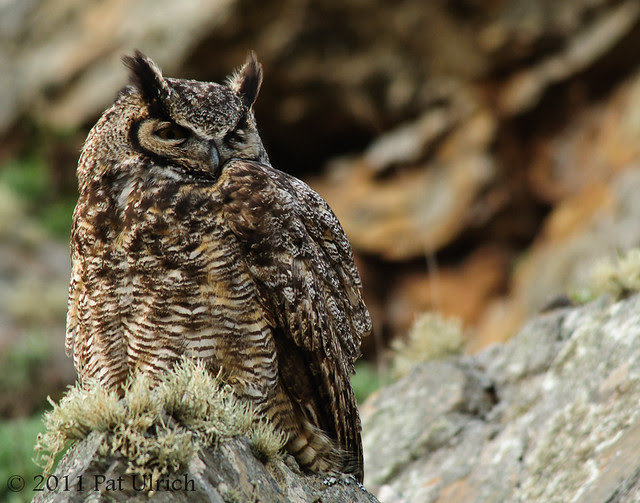 Great horned owl in Tennessee Valley - Pat Ulrich Wildlife Photography
