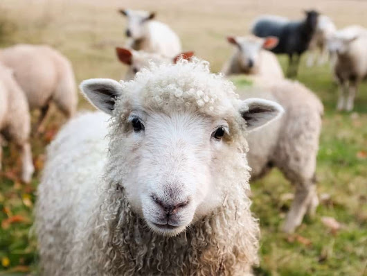 Is Wool Ethical? PETA Says NO! - Eluxe Magazine