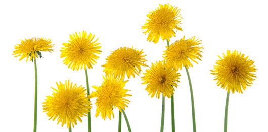 Dandelion For Dogs - Much More Than A Weed!