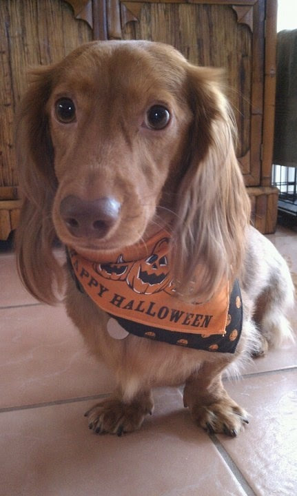 Vote for Boner Jones aka Bones | 2015 Dachshund Rescue South Florida Calendar Contest