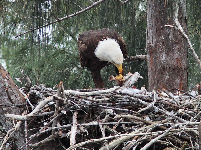 Bald Eagle female tearing at prey 20140121