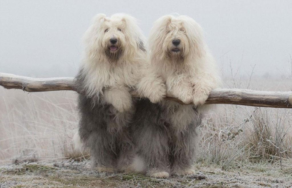 Estas fotogênicas irmãs bobtail fazem pose até para relâmpagos 13