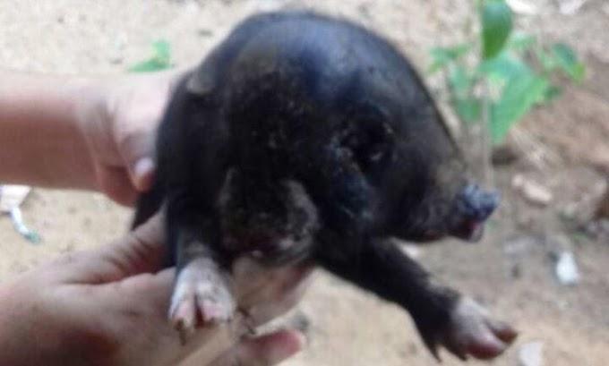 PI - Porco nasce com duas bocas e três olhos na zona rural