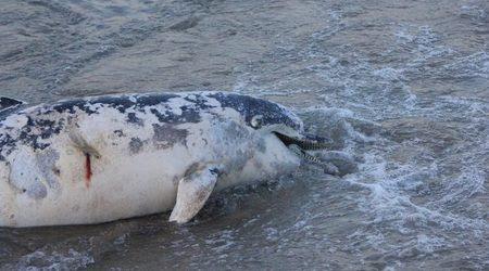 Убитото делфинче на къмпинг