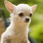 Chihuahua-3241053