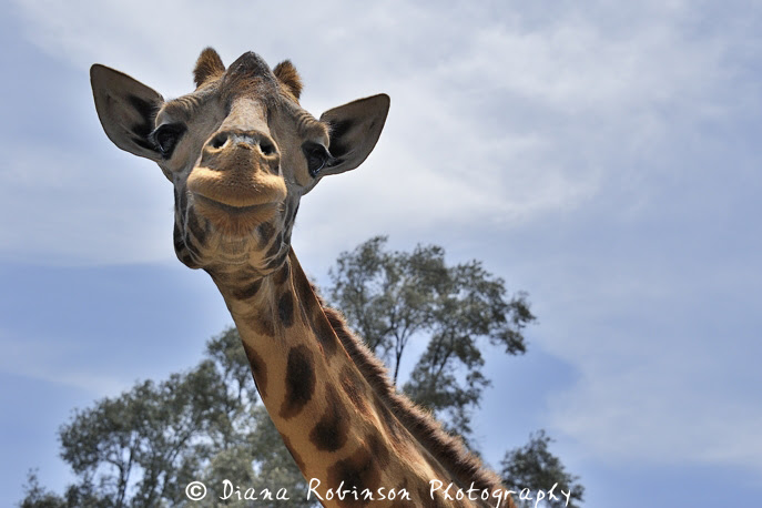 Giraffe with silly smile, Nairobi