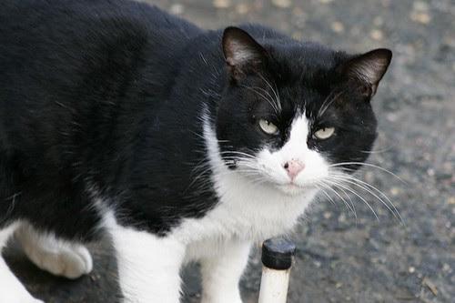 Tuxedo Tom Cat