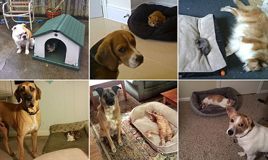 Hilarious photos capture dogs pushed out of their beds by crafty cats