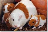 photo Guineapigs-2_zpsc7dad9c0.jpg