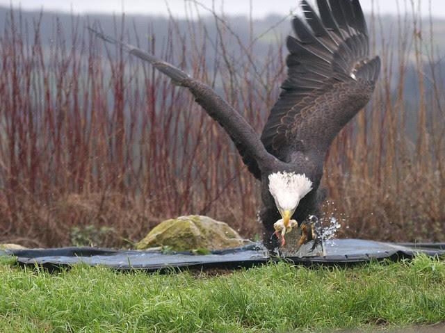 DSC_5390 Bald Eagle