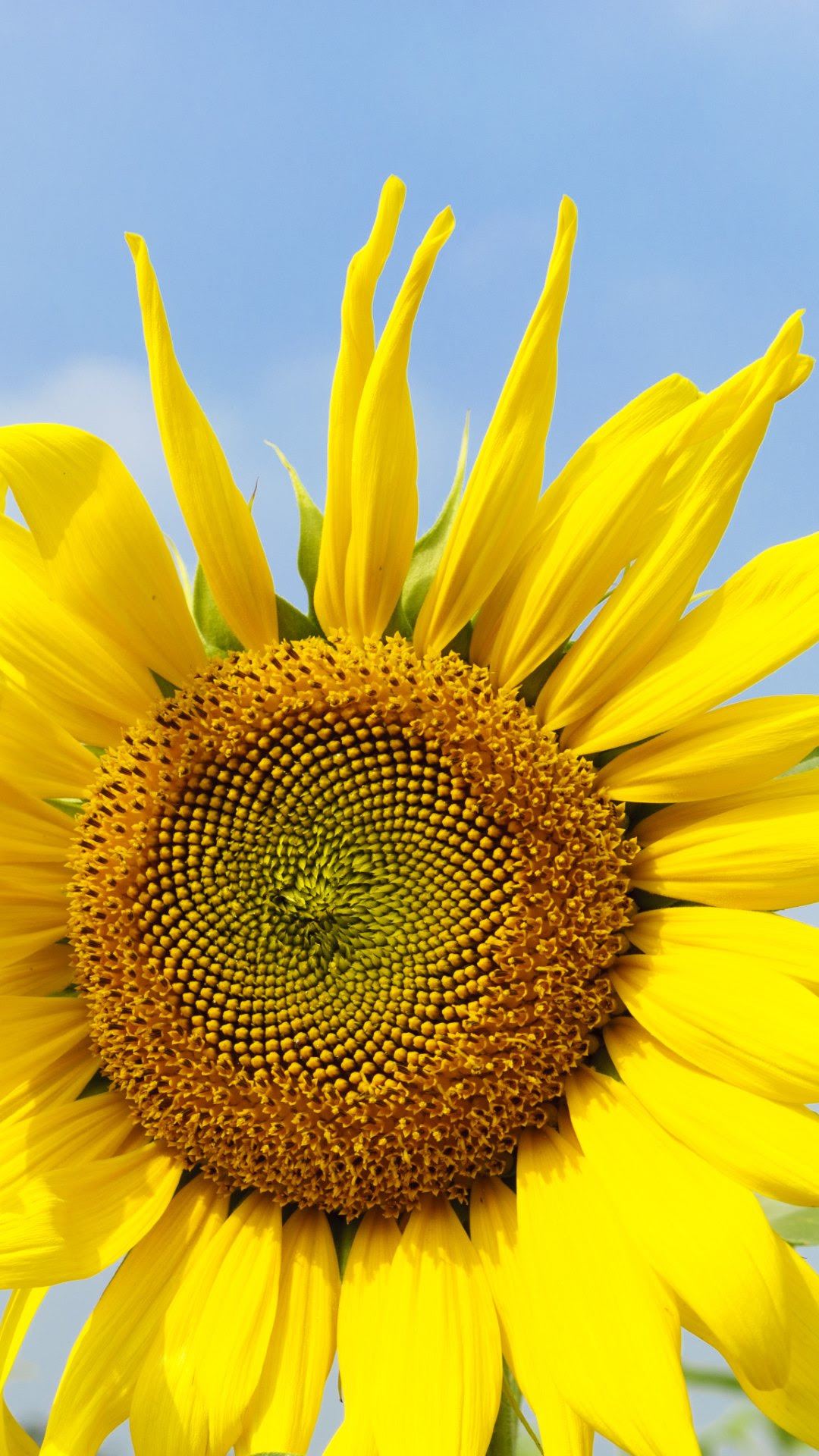 4K Sunflowers Wallpapers High Quality   Download Free