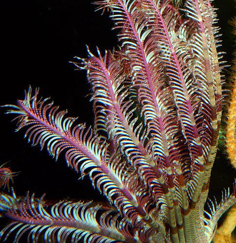 Purple Crinoid